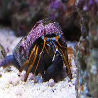 Eremit krabba