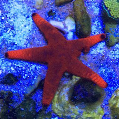Röd sjöstjärna