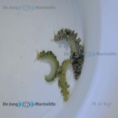 Elysia crispata, äter bryopsis alger